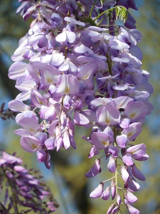 Wisterie Blüte Lila · Kostenloses Foto auf Pixabay