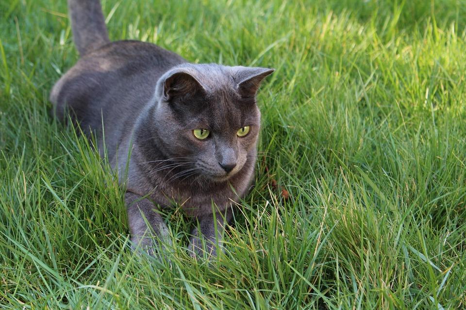 Photo gratuite chat chat gris chat yeux vert image gratuite sur pixabay 1296998 - Yeux vert gris ...