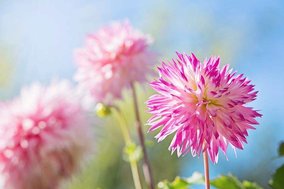 Free photo: Flower, Pink, Blue, Pink Flowers - Free Image
