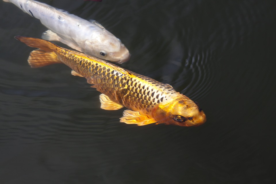Free photo brocade carp koi carp fish swim free for Koi carp fish pond
