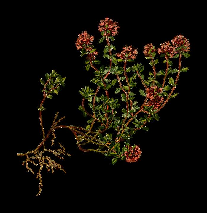 du sentier au potager thym plante utile
