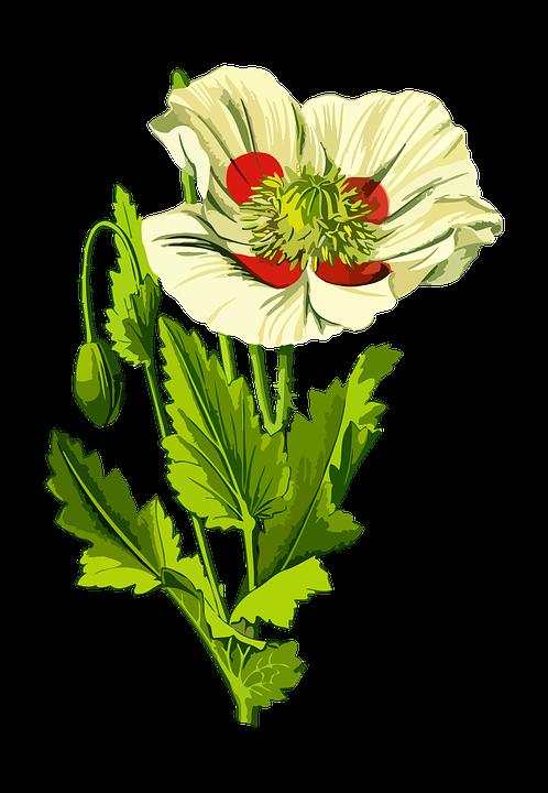 Drug, Floral, Flower, Herbal, Medicinal, Medicine