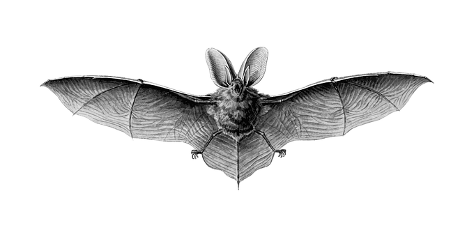 Animal Bat Flight Flying Mammal Bat Bat Ba