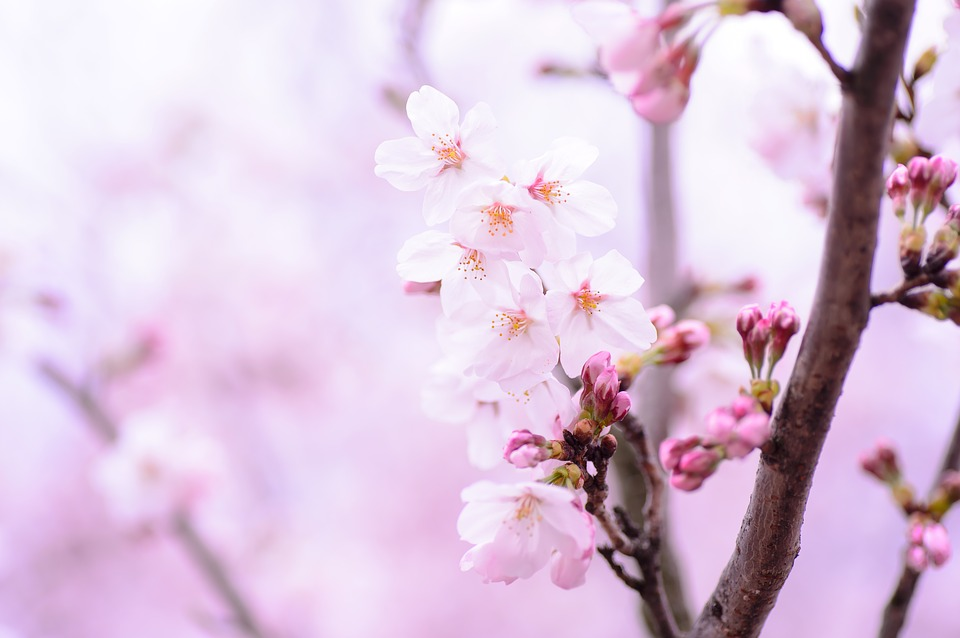 Plant spring flowers free photo on pixabay plant spring flowers japan pink natural mightylinksfo