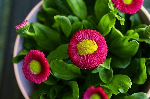 Красные ромашки цветы