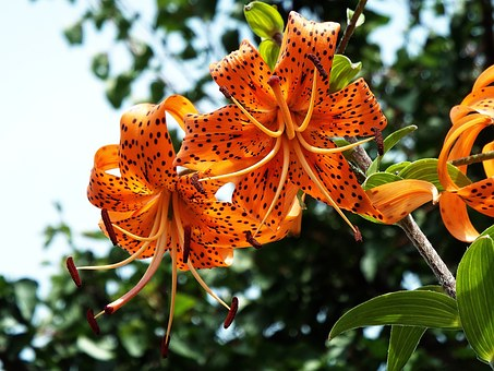 Tiger Lily Images · Pixabay · Download Free Pictures