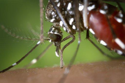 Mosquito, Female, Aedes Albopictus