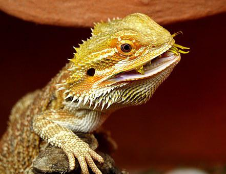Bearded Dragon Australia Lizard Animals Po