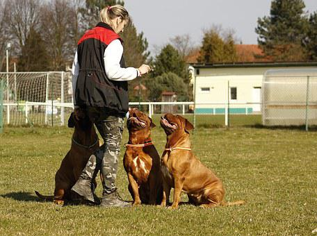 Bordeaux, Mastiff, Dog, De, Mastiffs
