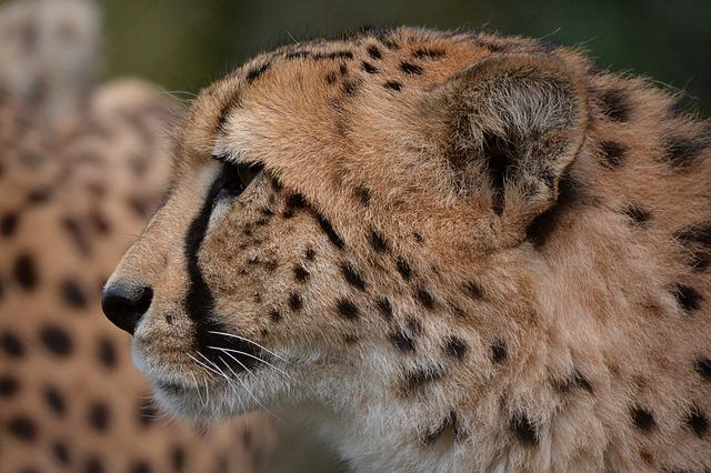 Cheetah leopard animal free photo on pixabay - Chat type leopard ...