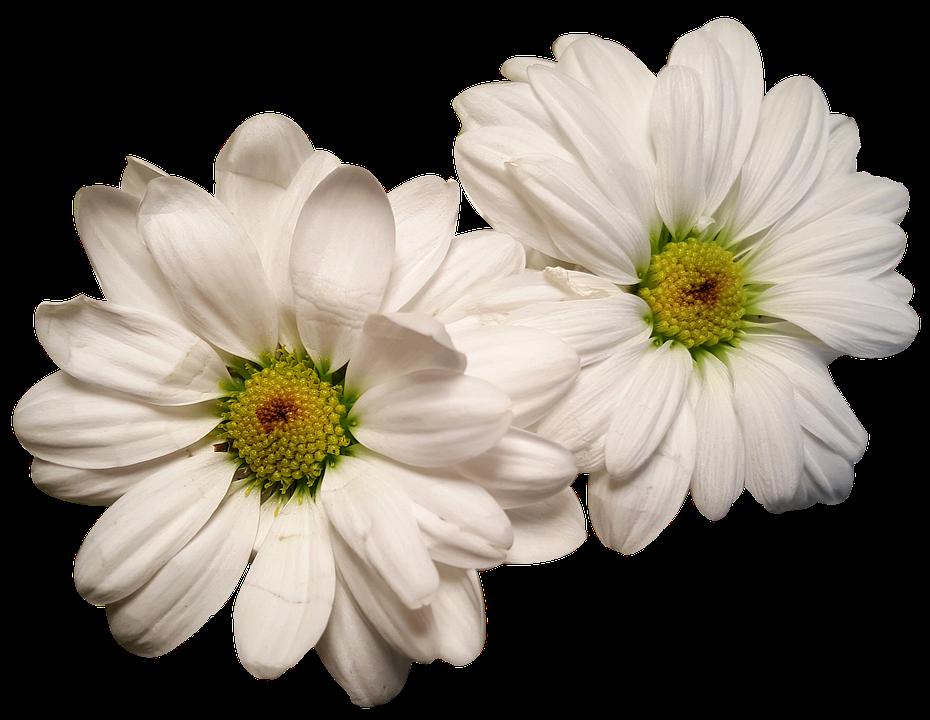 Fiori Bianchi Tipo Margherita.Margherite Esposto Teste Di Fiore Foto Gratis Su Pixabay