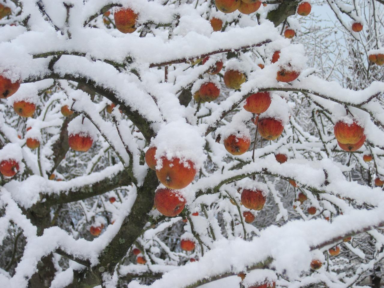Pohon Apel Salju Merah Foto Gratis Di Pixabay