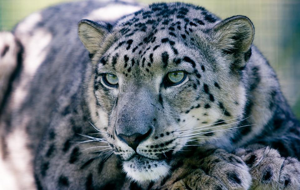 Snow Leopard, Big Cat, Animal, Mammal, Fur, Wildlife