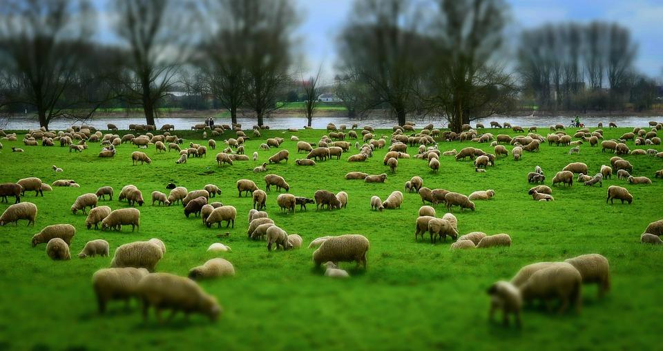 Owiec, Stada, Stado Owiec, Wełna, Kapelusze, Pastwisko