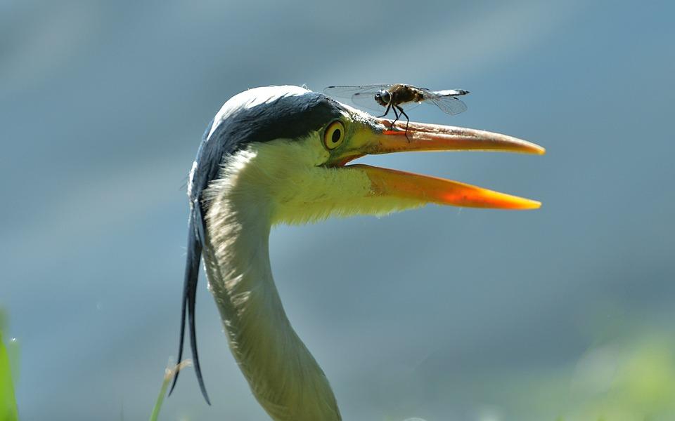 Free Photo Grey Heron Blue Arrow Dragonfly Free Image On