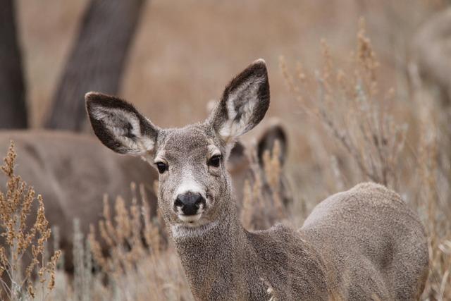 Mule Deer Doe Wildlife North 183 Free Photo On Pixabay