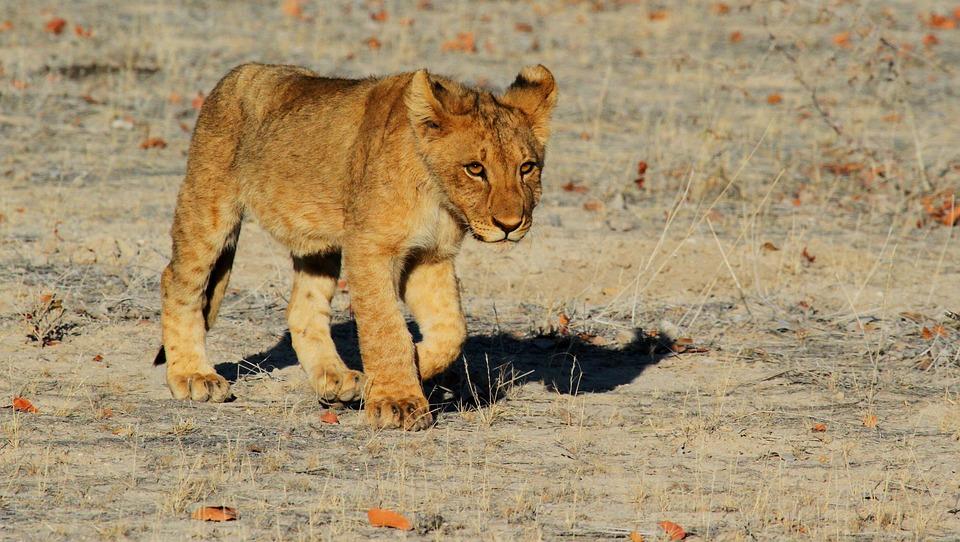León, Etosha, Namibia, África, Safari, Cachorro De León