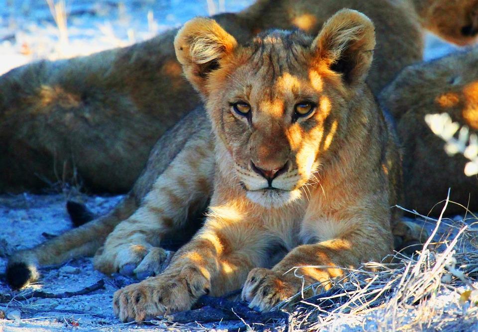 Löwe, Etoscha, Namibia, Afrika, Safari