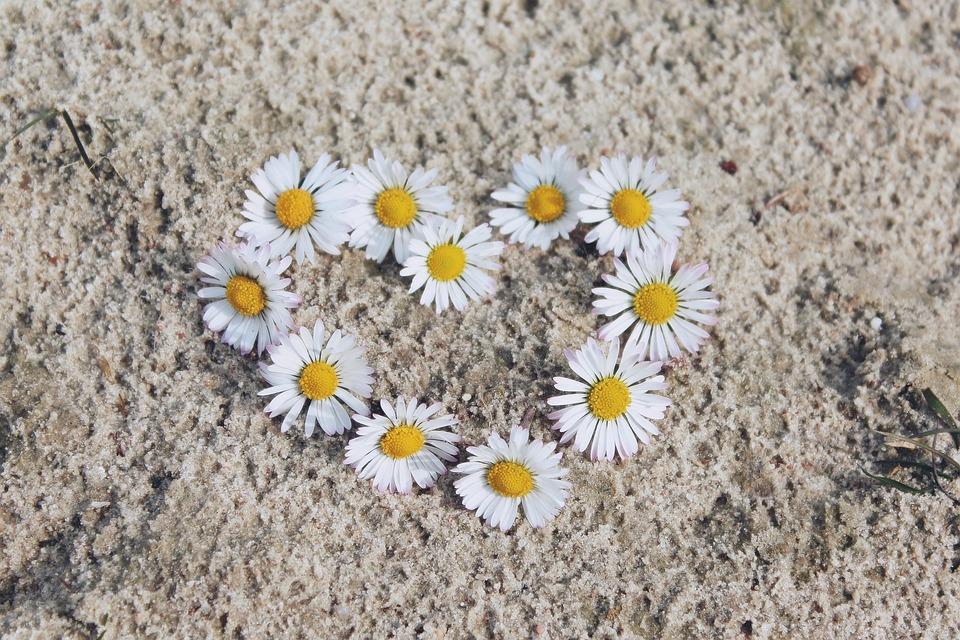 Photo gratuite marguerite fleurs blanc image gratuite sur pixabay 1307646 - Fleurs des champs blanches ...