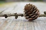 tap, pine cones, nature