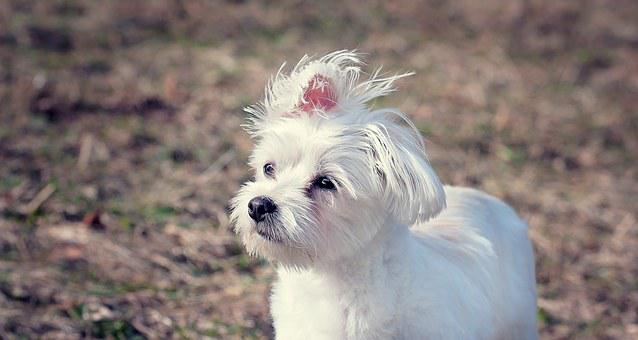 Dog, Maltese, White, Small Dog, Pet