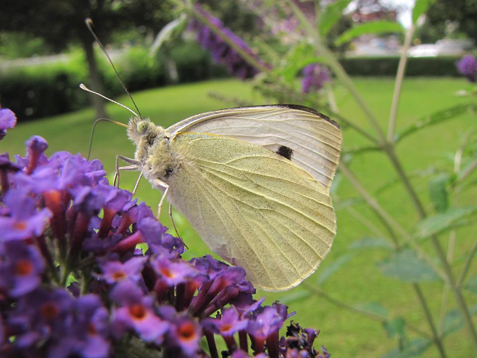 Insect, Summer Lilac, Purple, Flower, Flater, Butterfly