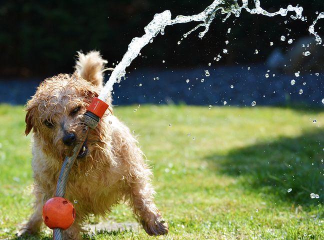 Dog, Garden, Terrier, Fun