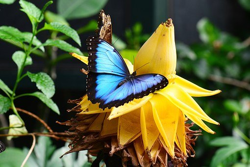 Blaue Morpho, Banane Blume, Blau, Garten