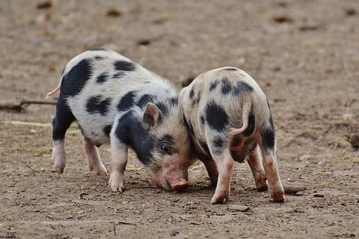 Piglet, Wildpark Poing, Small Pigs, Mini