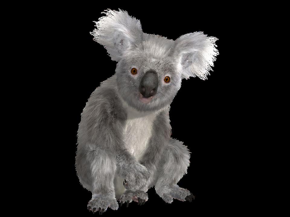 koala animal nature  u00b7 free image on pixabay mountain lion clipart mountain lion clipart