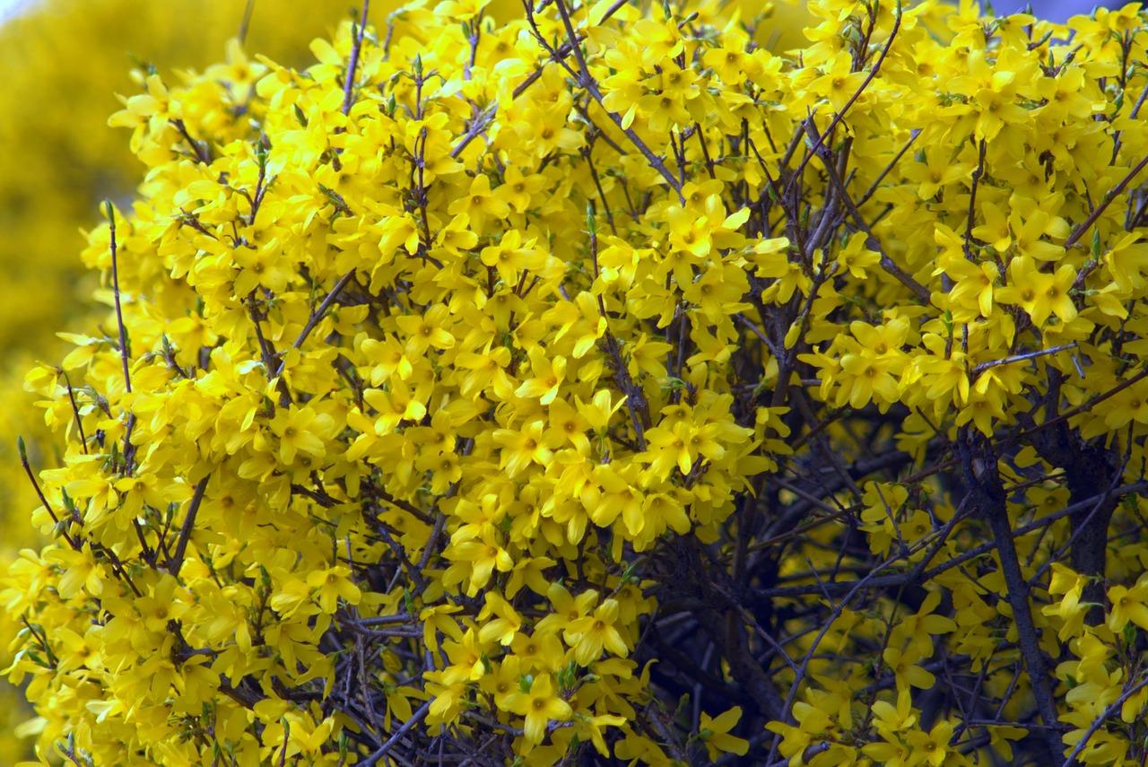 Фото кустарника с желтыми цветами весной