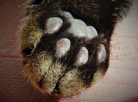 Cakar, Cat'S Paw, Paw Mencetak, Bulu