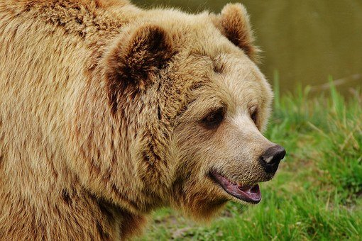 Bear Wildpark Poing Brown Bear Wild Animal