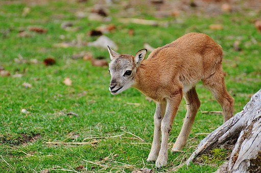 Wild, Young Animal, Roe Deer