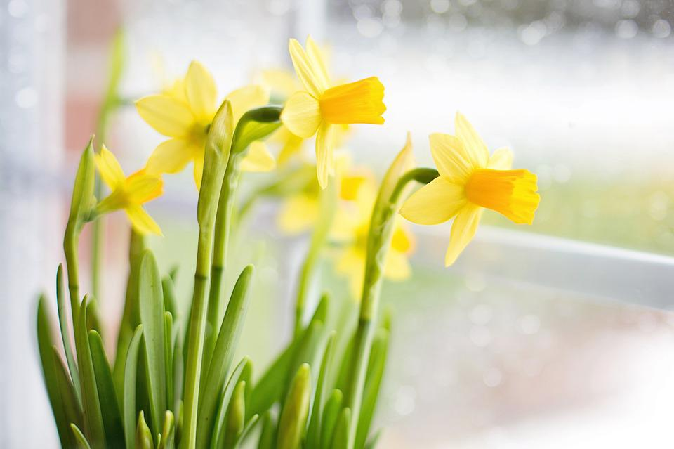 Daffodils spring yellow flowers free photo on pixabay daffodils spring yellow flowers plant gardener mightylinksfo
