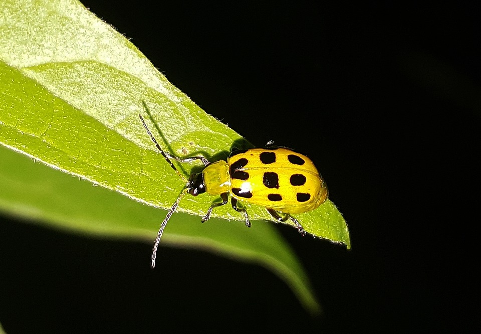 Cucumber Beetle, Beetle, Spotted Cucumber Beetle, Pest