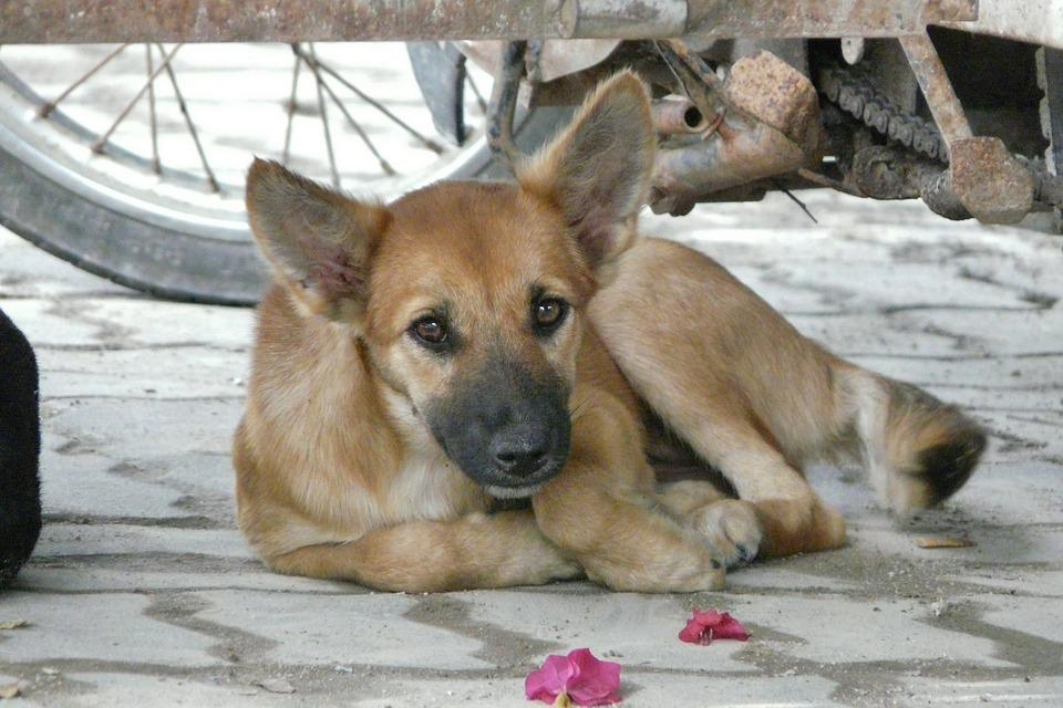 Thailand, Young Dog, Dear, Cute, Hybrid, Pet, Brown