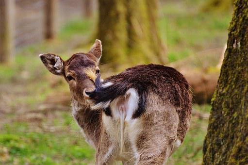 Wild, Roe Deer, Wildpark Poing, Nature