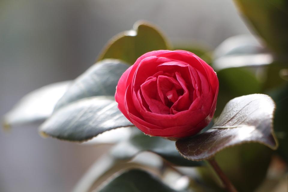 Kamelie Blume April Fruhling Kostenloses Foto Auf Pixabay