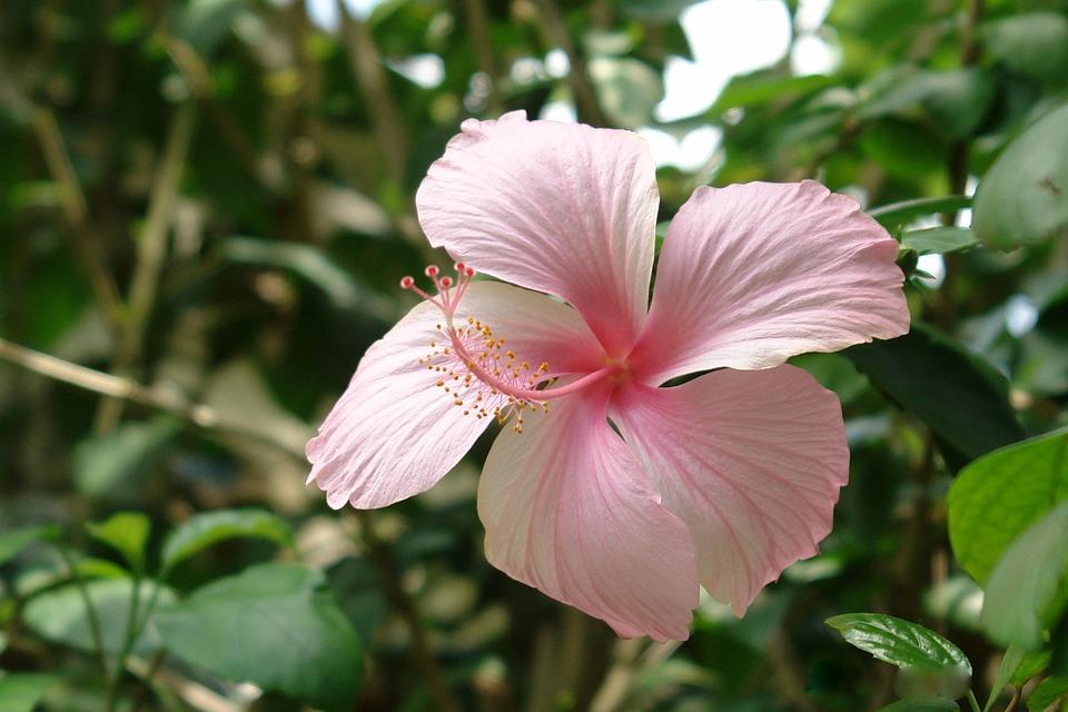 Flower Hibiscus Sabdariffa Free Photo On Pixabay