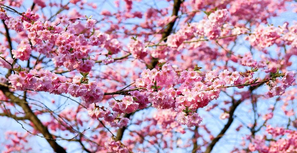 Free photo: Cherry Blossom, Japanese Cherry - Free Image ...