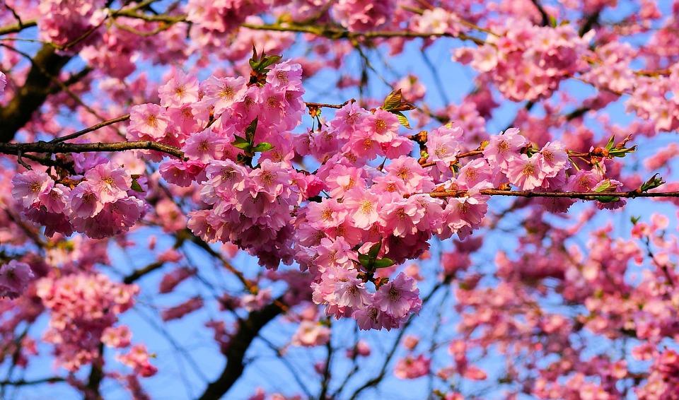 Foto gratis fiore di ciliegio immagine gratis su for Sakura albero