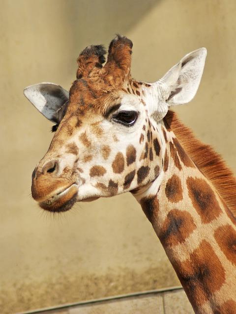О жирафах онлайн картинки