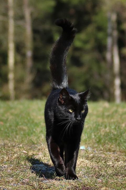 Velká černá kočička zblízka