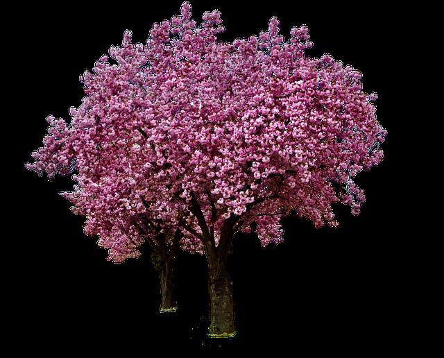 Kostenloses Foto: Kirschblüten, Frühling, Blühen