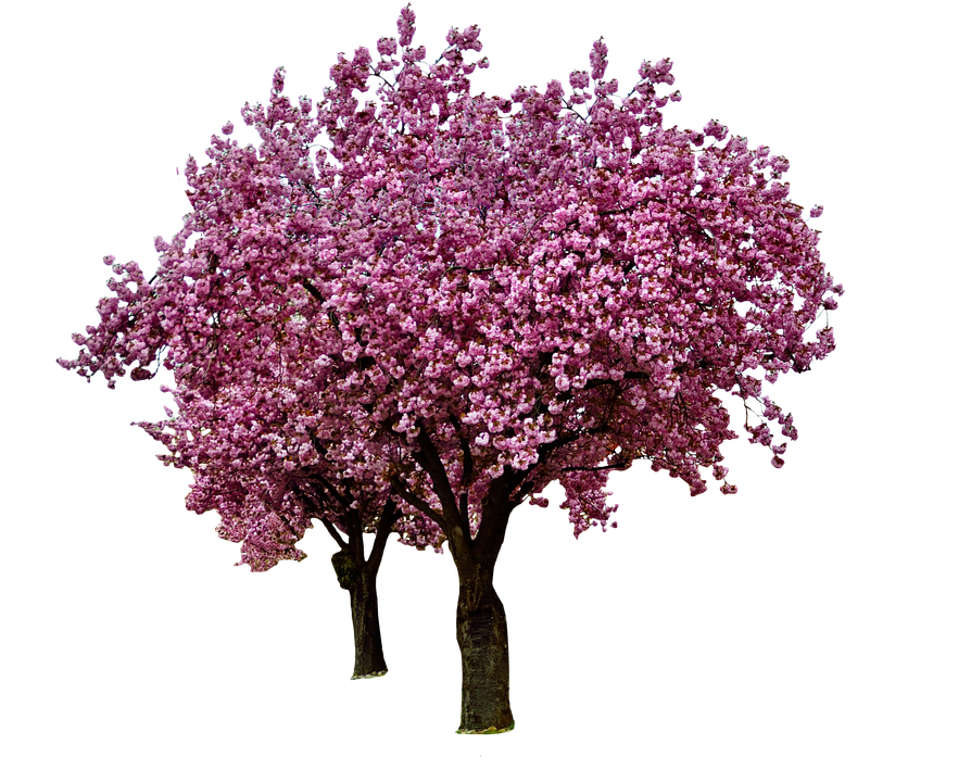 Cherry Blossoms Spring Bloom · Free photo on Pixabay