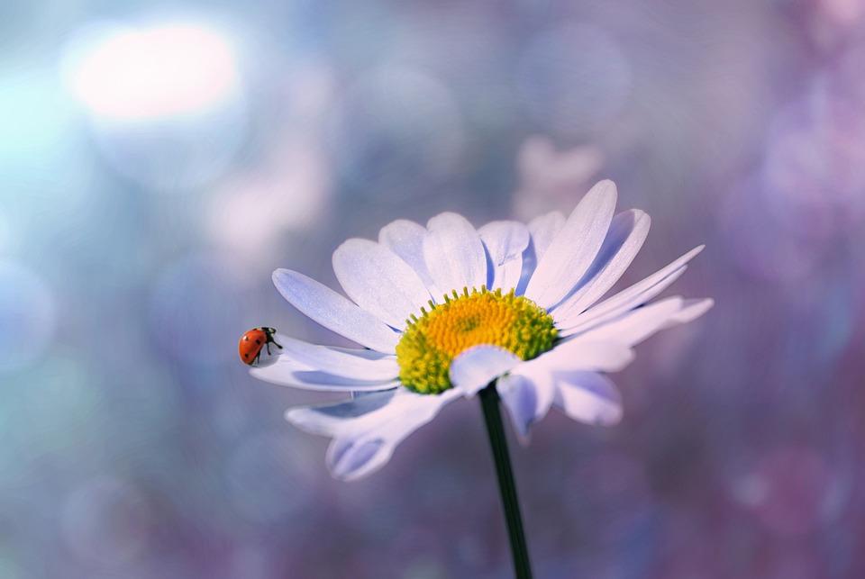 Marienkäfer Blume Margerite Kostenloses Foto Auf Pixabay