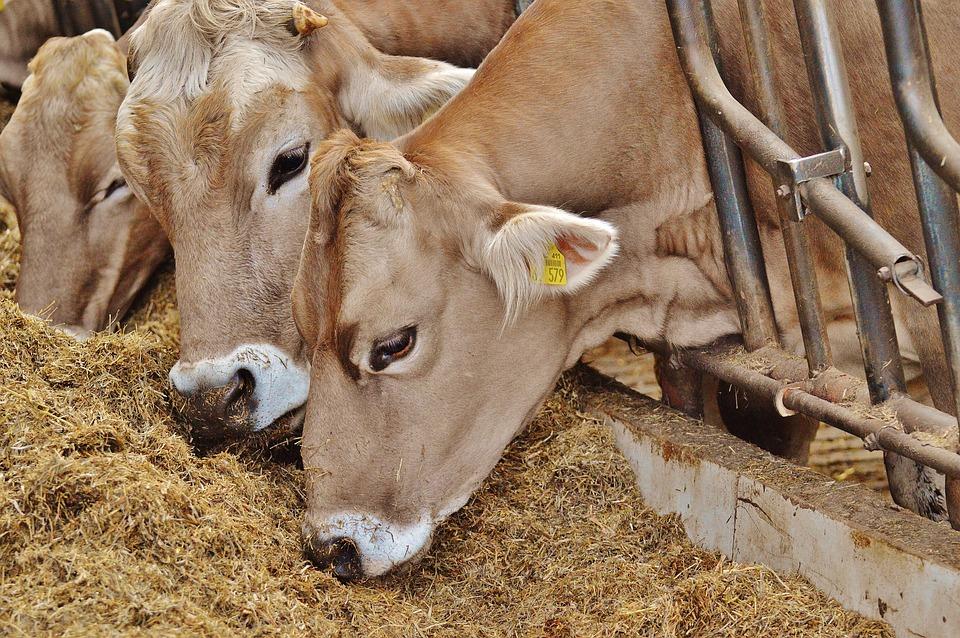 Free Photo Cows Stall Barn Animals Animals Free