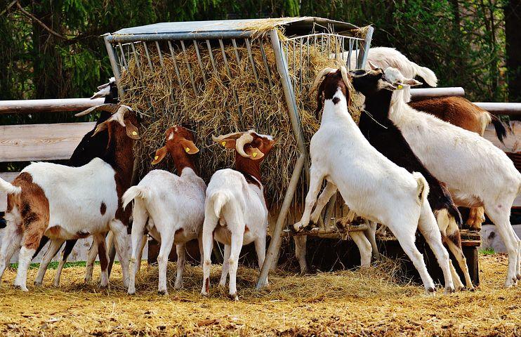 Goat Sheep Farming Business Plan