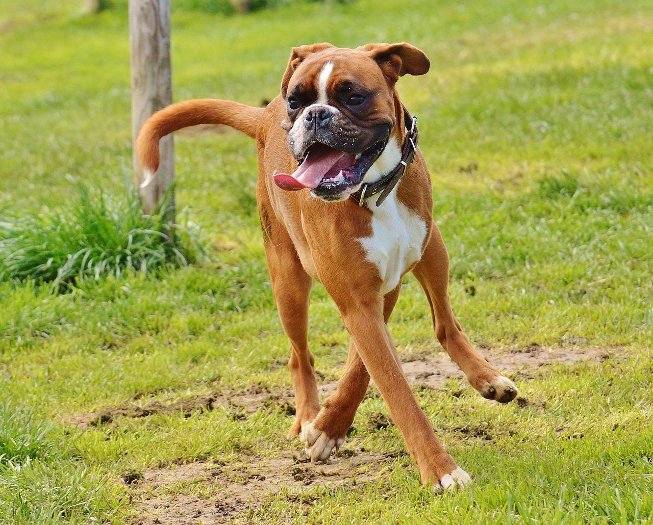 форумах фотки боксера собаки версия дает возможность